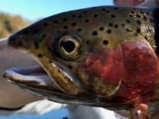 toms-trout
